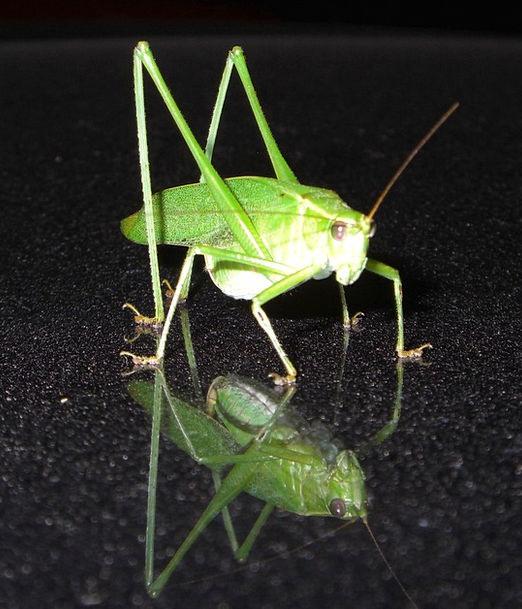 Grasshopper Bug Germ Insect Katydid