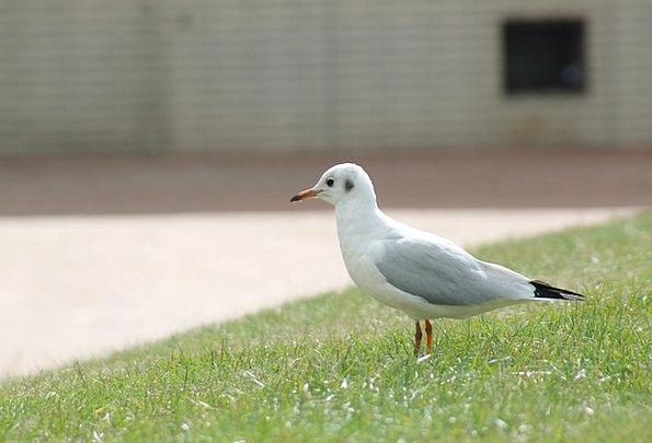 Seagull Fowl Meadow Field Bird Rush Haste