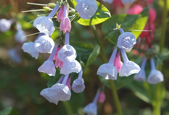Bluebells Coil Flower Floret Spring Peace Petal Fl