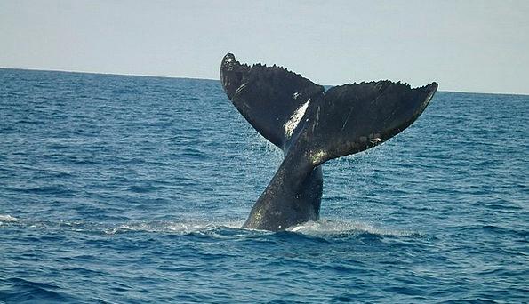 Humpback Tail Humpback Whales Abrolhos Humpback Wh