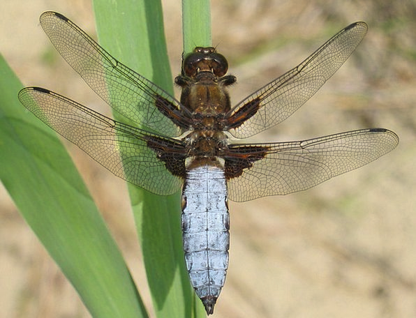 Plattbauch Libellula Depressa Dragonfly Libellulid