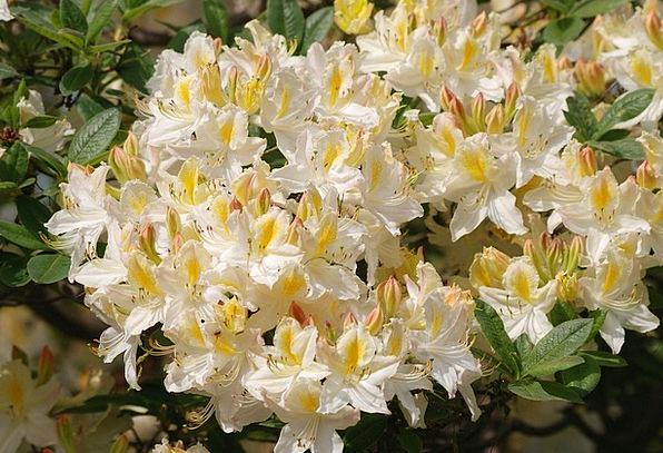 Azalea Peak Shrubs Bushes Flowering Blossom Flower