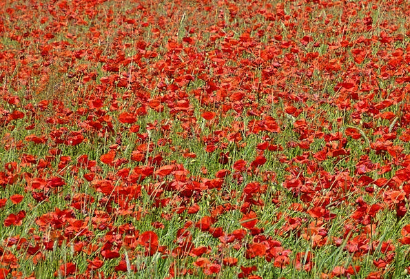 Poppy Landscapes Scenery Nature Nature Countryside