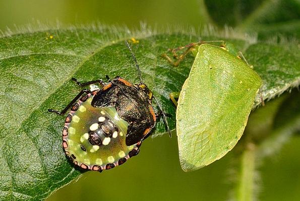 Hemiptera Germ Nezara Bug Viridula