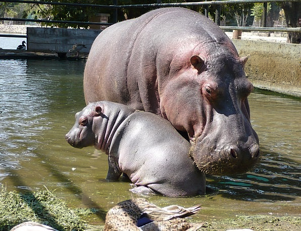 Hippos Wildlife Family Domestic Fauna Mother And S