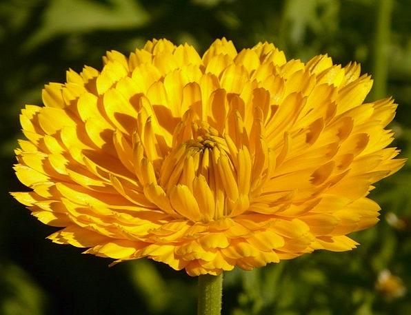 Marigold Gardening Horticultural Calendula Officin
