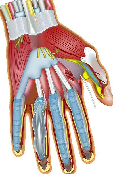 Finger Digit Medical Pointer Health Anatomy Struct
