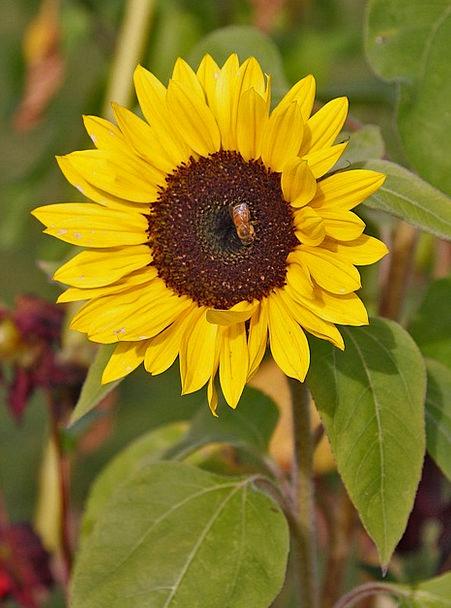 Sunflower Wasp Bee Flower Fly Yellow Flower Creamy