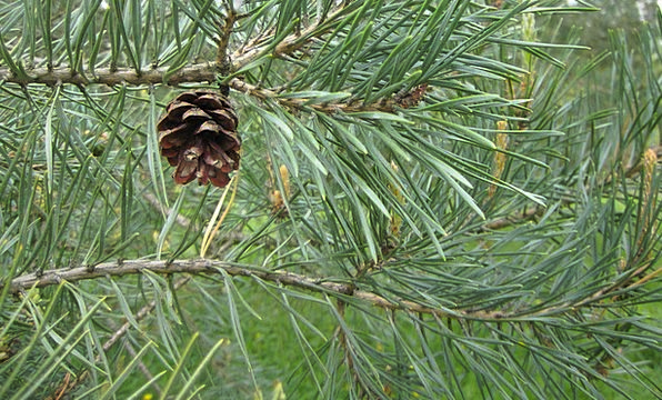 Pine Long Sapling Seed Kernel Tree Cone Pinecone L