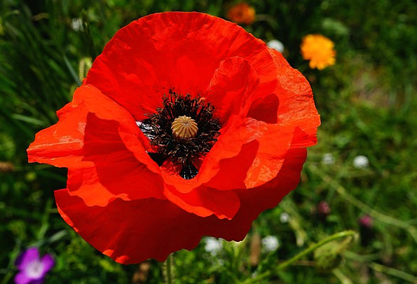 Flower Floret Red Bloodshot Poppy Colorful Interes
