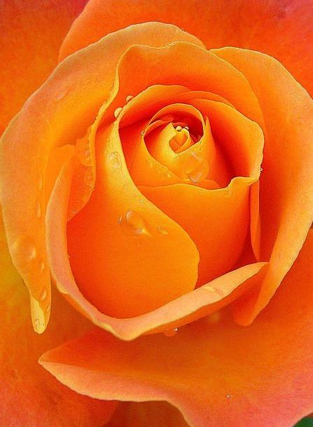 Rose Design Apricot Raindrops Orange Carroty Flowe