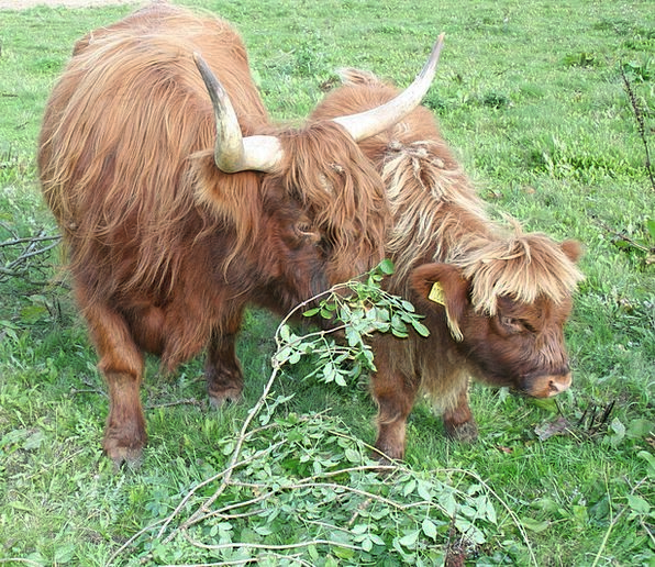 Cow Intimidate Cattle Cows Calf Scottish Highland