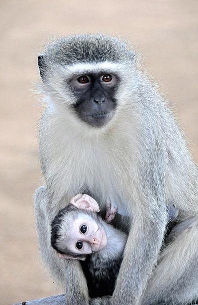 Grivet Monkey Kruger Park South Africa Pocket Conc