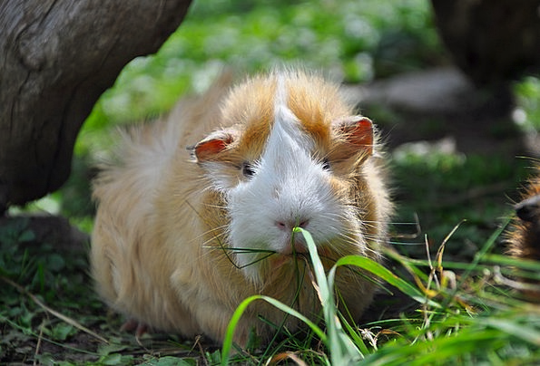 Guinea Pig Domesticated Nager Pet Rodent Cute Anim
