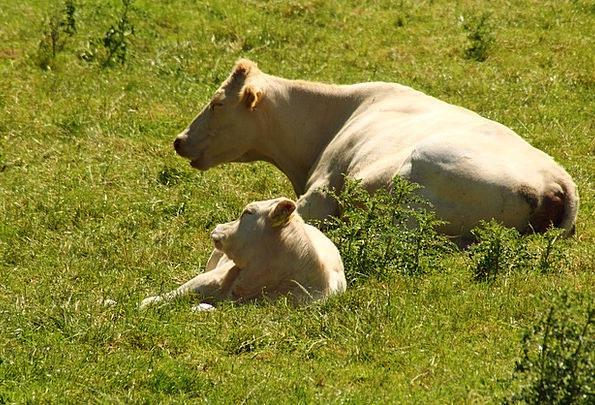 Cows Intimidates Meadow Cow Intimidate Pasture Res