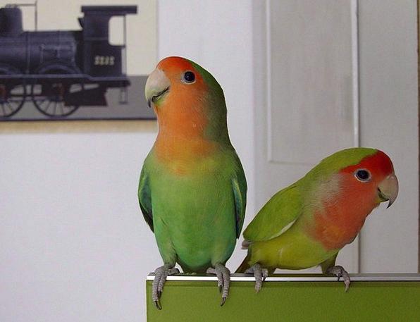 Parrot Imitator Lime Red Bloodshot Green