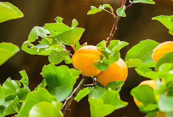 Apricot Drink Binary Food Fruit Ovary Two Healthy