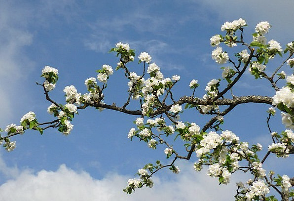 Apple Tree Flower Branch Division Blossom Spring C
