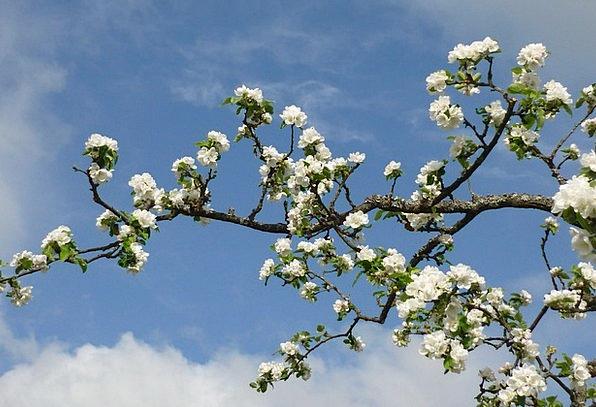 Apple Tree Flower Branch Division Blossom Spring C