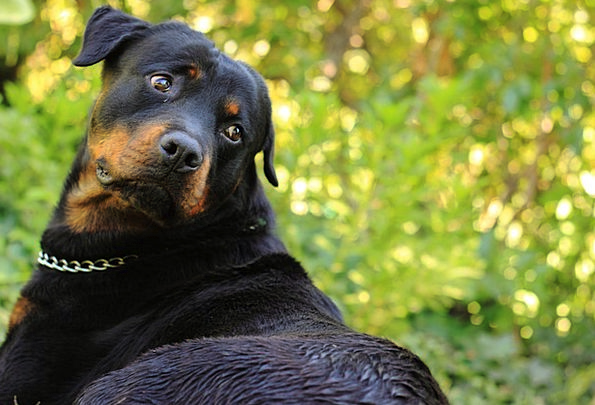 Dog Canine Domesticated Animal Physical Pet Rottwe