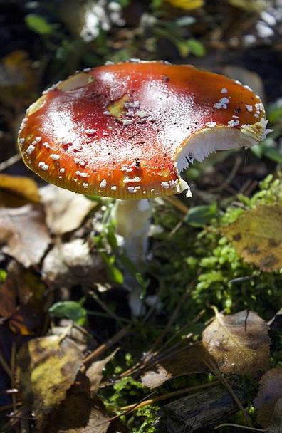 Fly Agaric Fall Mushroom Burgeon Autumn Forest Flo