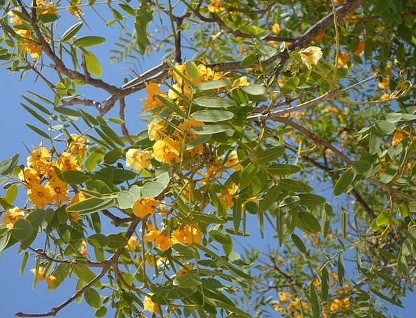 Sky Blue Tree Sapling Blossom Tropical Branches Twigs Yellow