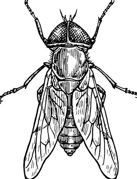 Fly Hover Germ Wings Annexes Bug Insect Gadfly Fre