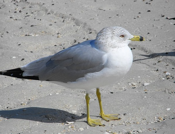 Ring Billed Gull Bird Fowl Gull Outdoor Fly Hover