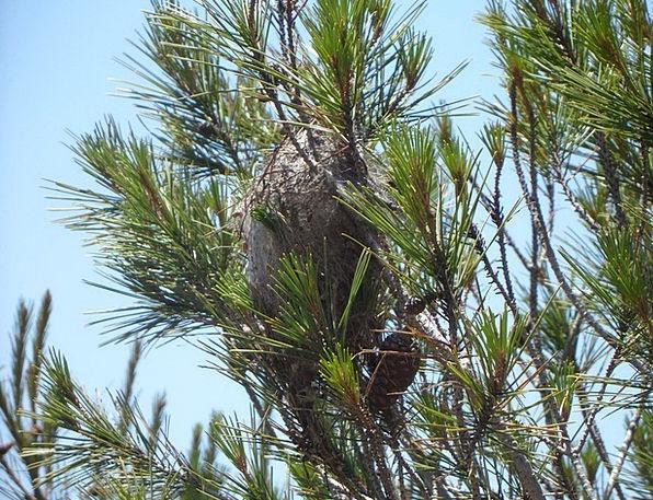 Caterpillar Plague Pine Long Crawler'S Nest Proces