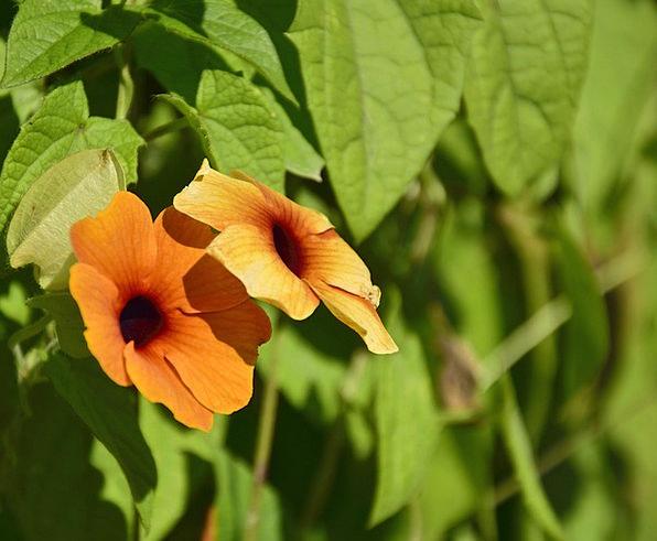 Thunbergie Floret Orange Carroty Flower Black Susa
