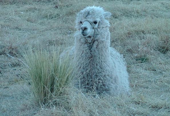 Alpaca Camelid Andean Camelid Peru