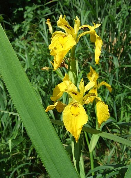 Flower Floret Landscapes Nature Swamp Iris Iris Na