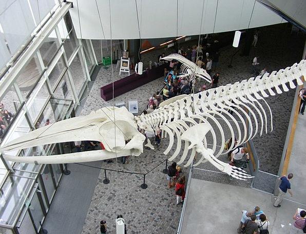 Stralsund Whale Skeleton Ozeaneum Entrance Hall Lo