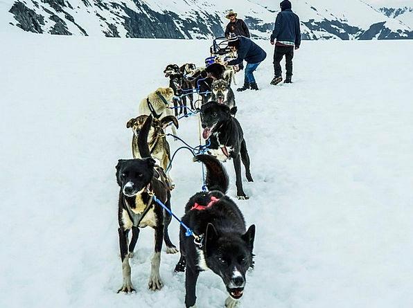 Sled Dogs Dog Sled Alaska Team Sled Bobsled Pullin