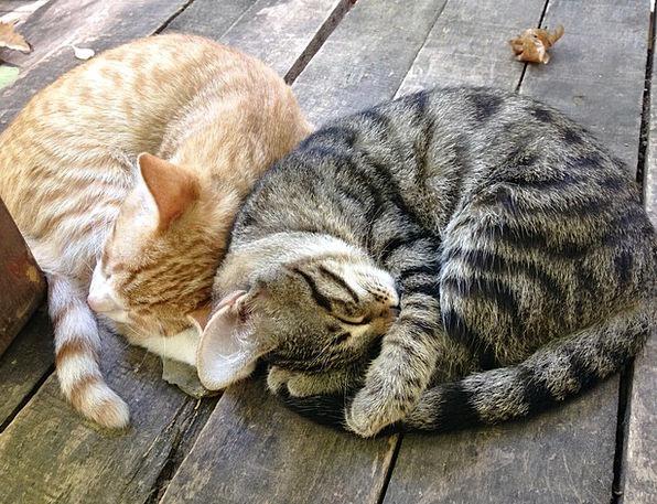 Cat Feline Composed Kitten Together Sibling Love S