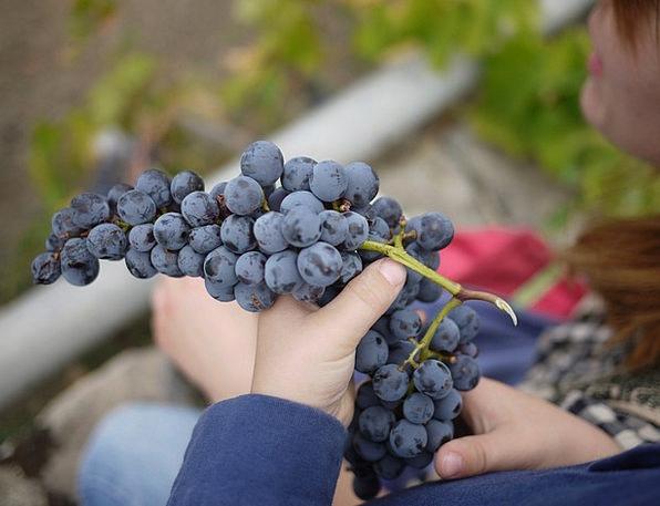 Grapes Wine Mauve Sicily Wine Making