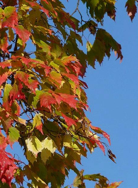 Maple Landscapes Nature Needle Leaf Maple Acer Pla