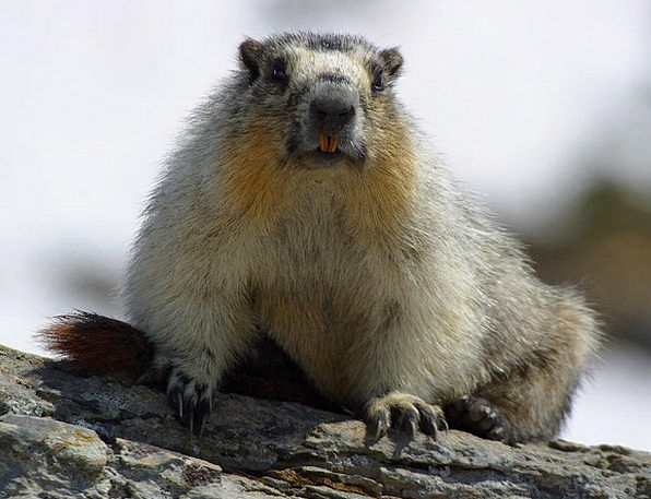 Marmot Rodent Nager Cute Attractive Animal World F