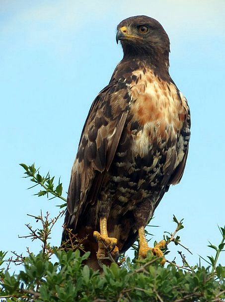 Buzzard Landscapes Nature South Africa Bird Of Pre
