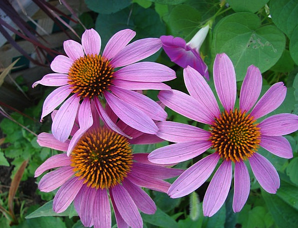 Echinacea Landscapes Nature Flower Floret Coneflow