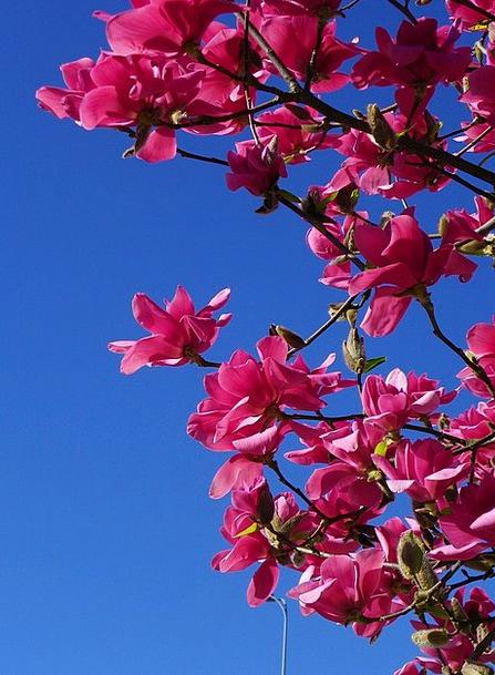 Magnolia Sapling Red Tree Tree Flower Floret