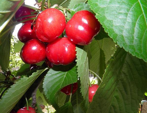 Cherry Pink Drink Sapling Food Berries Tree Fruit