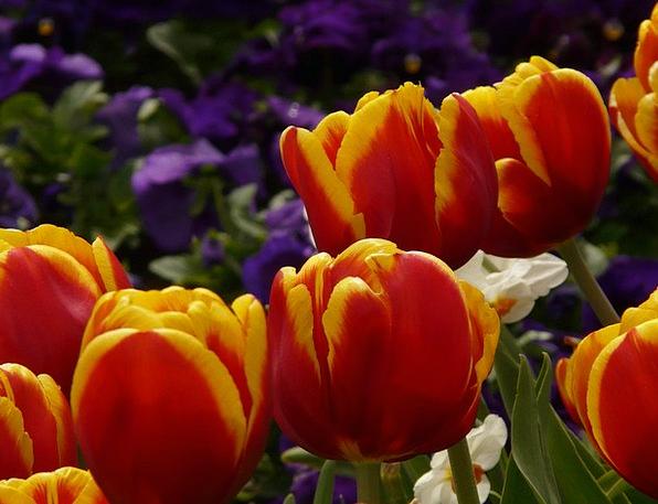 Tulips Bloodshot Yellow Creamy Red Flowers Plants