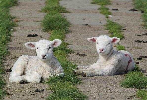 Lambs Beefs Ewe Animal Physical Sheep Deichschaf D