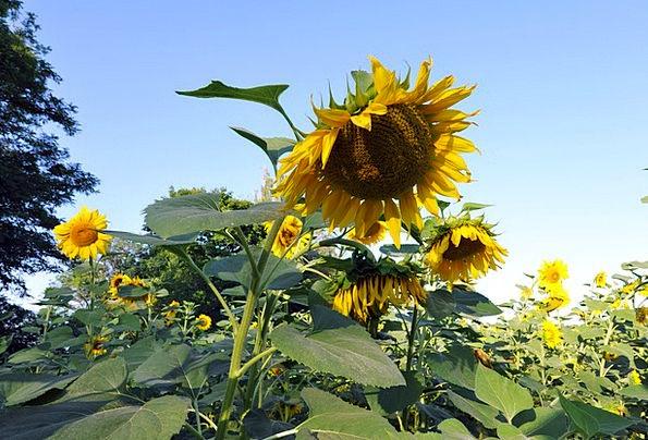 Sunflowers Yellow Creamy Huge Flower