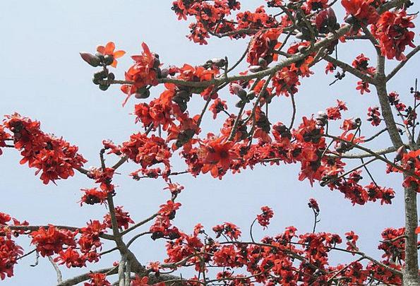 Bombax Ceiba Flower Floret Silk Cotton Tree Saplin