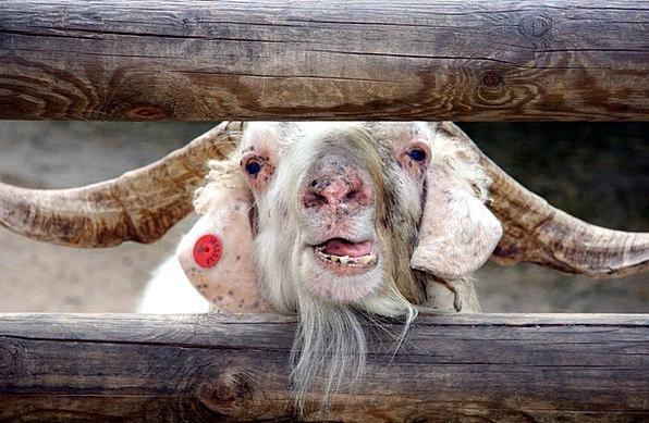 Farm Farmhouse Animal Physical Goat Horned Mammal
