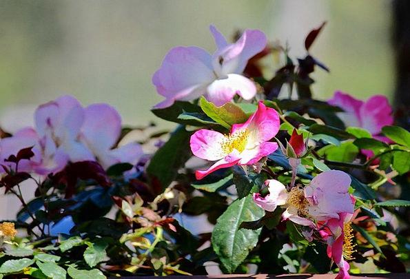 Wild Rose Pink Flushed Rose Bush Flowers Plants Sp