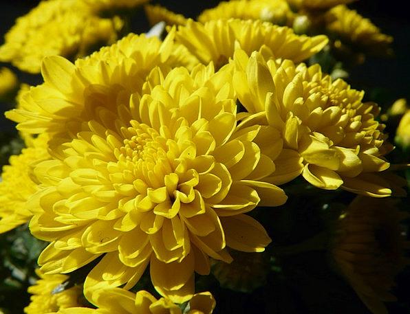 Garden Chrysanthemum Dendranthema Grandiflorum Chr