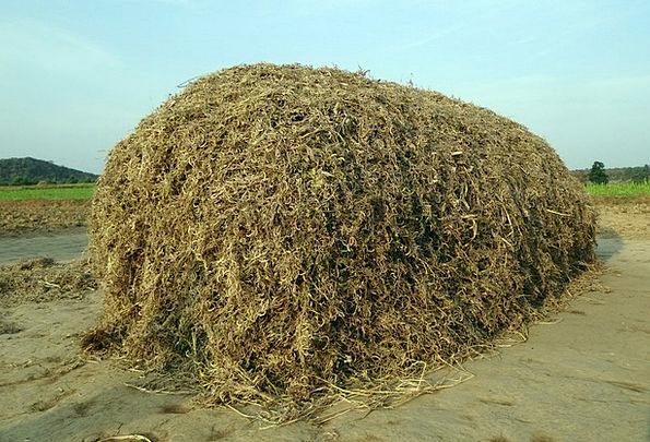 Horse Gram Pulse Beat Kulthi Crop Residue Fodder S